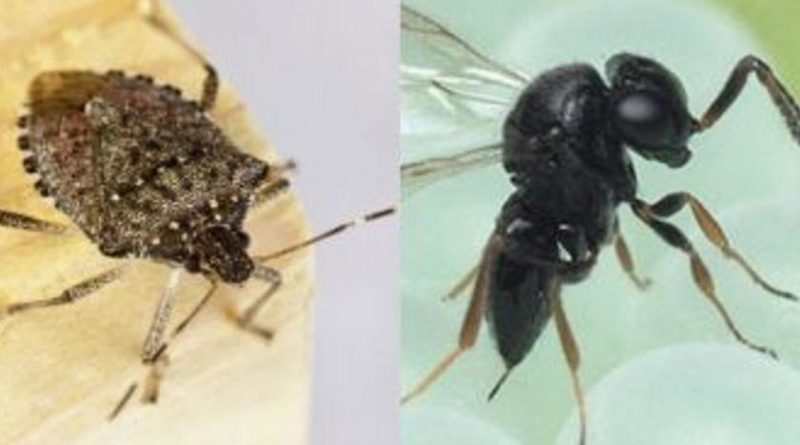 La vespa samurai contro la cimice asiatica